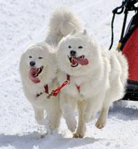 Samoyed Sled Dog